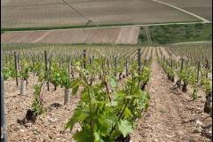 Pousse de la vigne