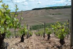 Aperçu des vignes en Mai 2017